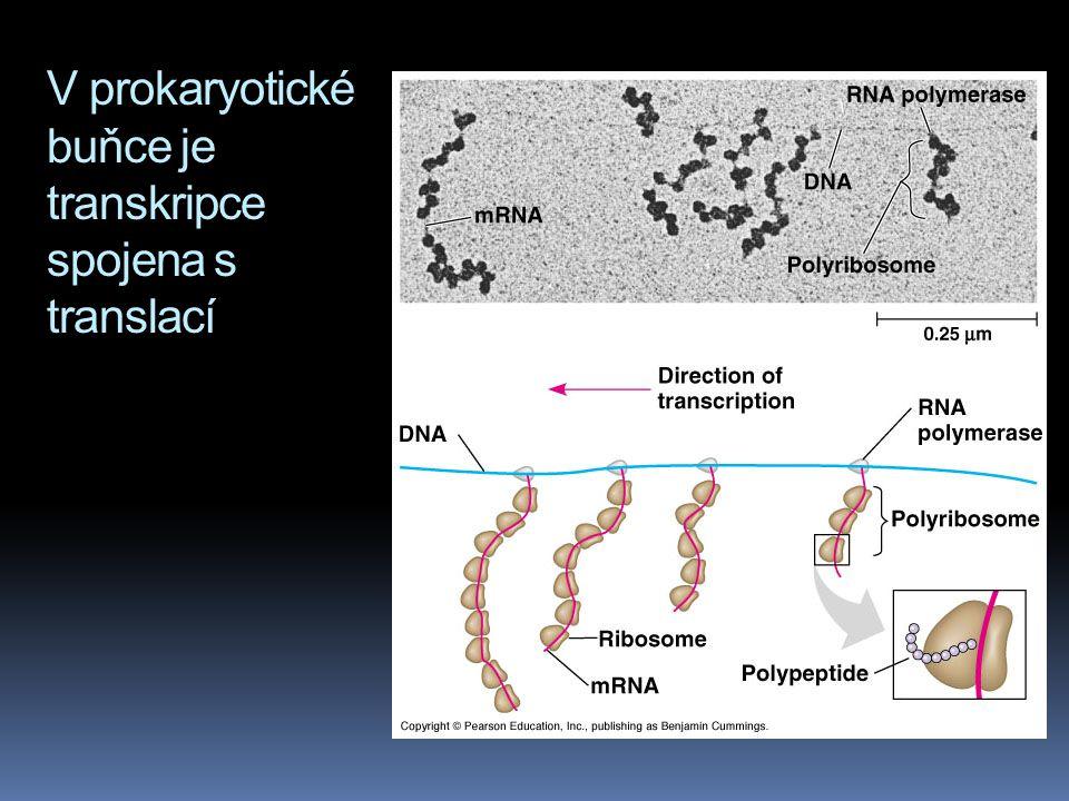 V prokaryotické buňce je transkripce spojena s translací