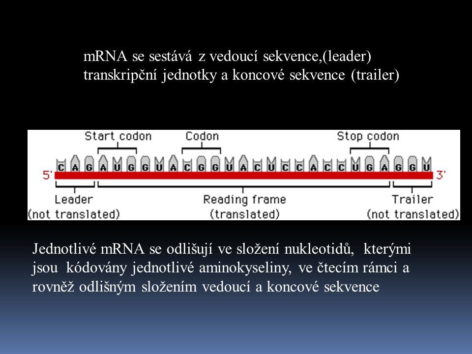 mRNA se sestává z vedoucí sekvence,(leader) transkripční jednotky a koncové sekvence (trailer) Jednotlivé mRNA se odlišují ve složení nukleotidů, kterými jsou kódovány jednotlivé aminokyseliny, ve čtecím rámci a rovněž odlišným složením vedoucí a koncové sekvence