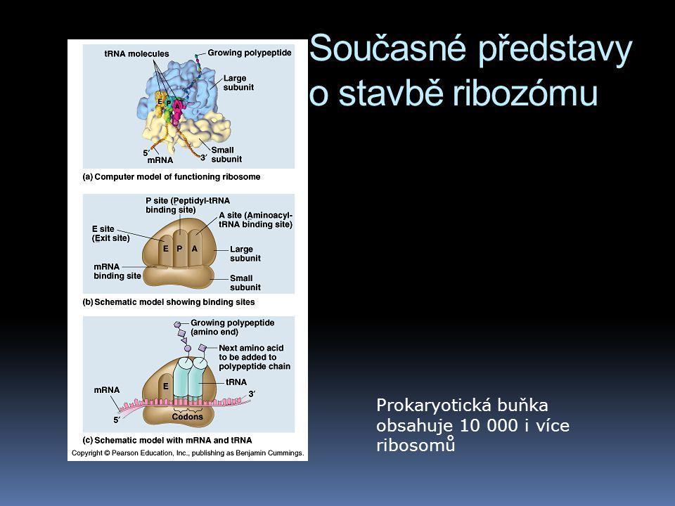 Současné představy o stavbě ribozómu Prokaryotická buňka obsahuje 10 000 i více ribosomů