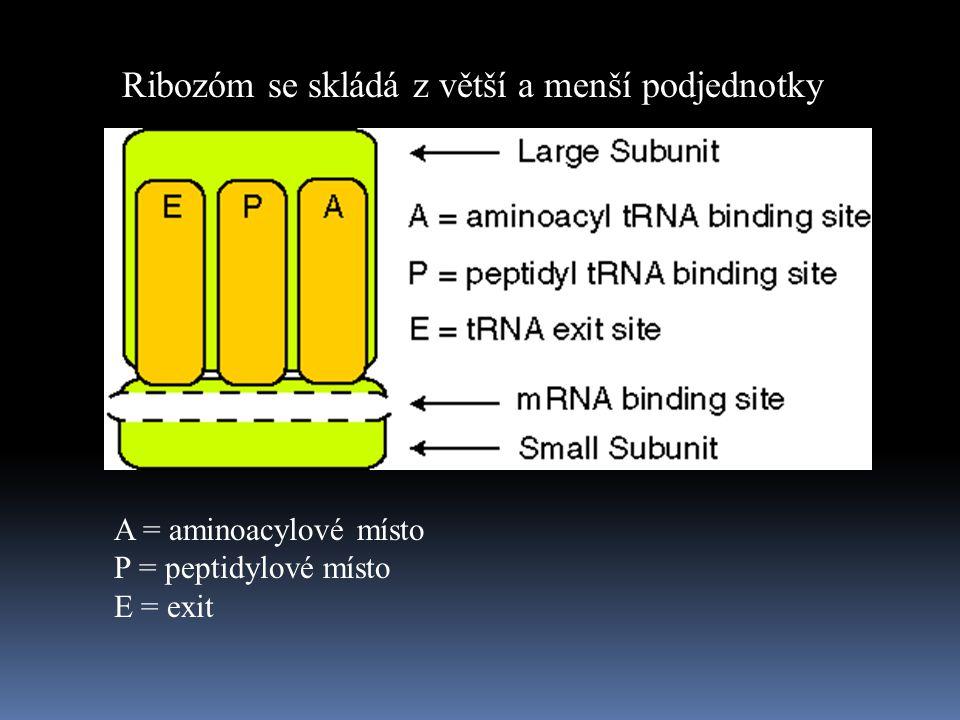 Ribozóm se skládá z větší a menší podjednotky A = aminoacylové místo P = peptidylové místo E = exit