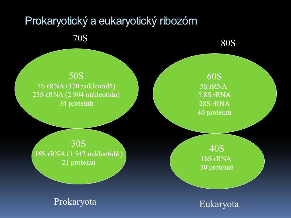 Prokaryotický a eukaryotický ribozóm 30S 16S rRNA (1 542 nukleotidů ) 21 proteinů 50S 5S rRNA (120 nukleotidů) 23S rRNA (2 904 nukleotidů) 34 proteinů 60S 5S rRNA 5,8S rRNA 28S rRNA 40 proteinů 40S 18S rRNA 30 proteinů 80S 70S Prokaryota Eukaryota