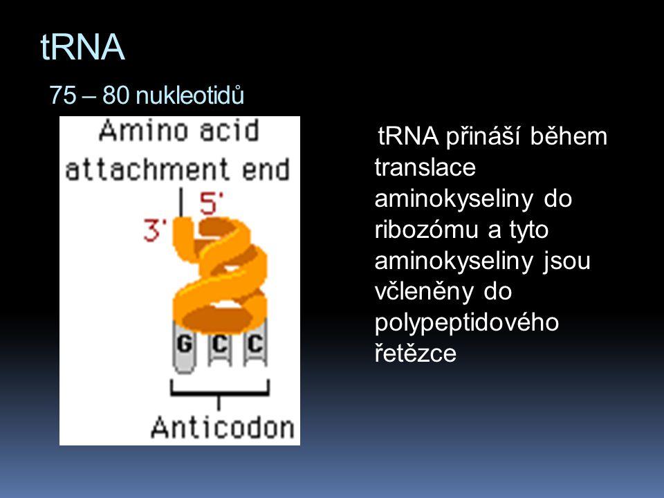tRNA 75 – 80 nukleotidů tRNA přináší během translace aminokyseliny do ribozómu a tyto aminokyseliny jsou včleněny do polypeptidového řetězce