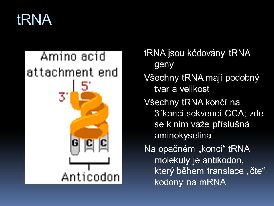 """tRNA jsou kódovány tRNA geny Všechny tRNA mají podobný tvar a velikost Všechny tRNA končí na 3´konci sekvencí CCA; zde se k nim váže příslušná aminokyselina Na opačném """"konci tRNA molekuly je antikodon, který během translace """"čte kodony na mRNA"""