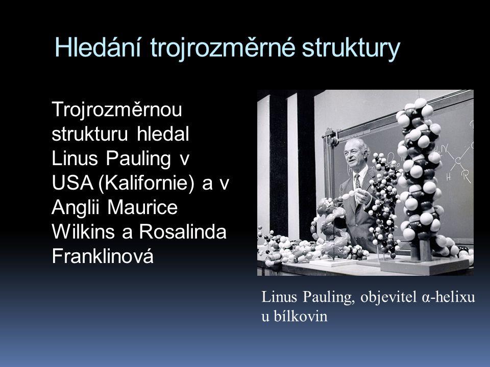 Hledání trojrozměrné struktury Trojrozměrnou strukturu hledal Linus Pauling v USA (Kalifornie) a v Anglii Maurice Wilkins a Rosalinda Franklinová Linus Pauling, objevitel α-helixu u bílkovin