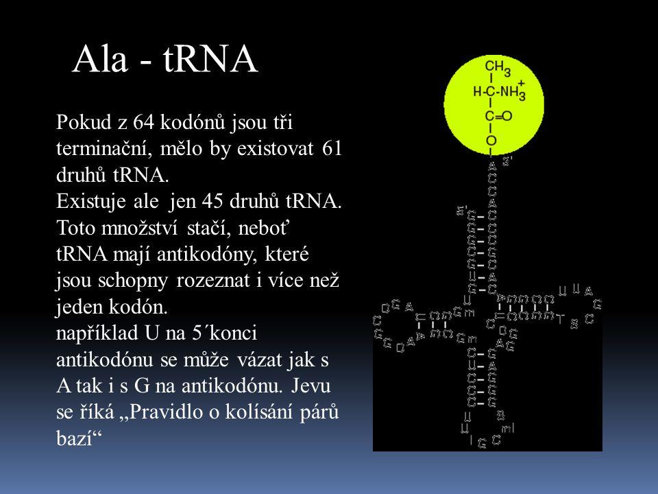 Ala - tRNA Pokud z 64 kodónů jsou tři terminační, mělo by existovat 61 druhů tRNA.