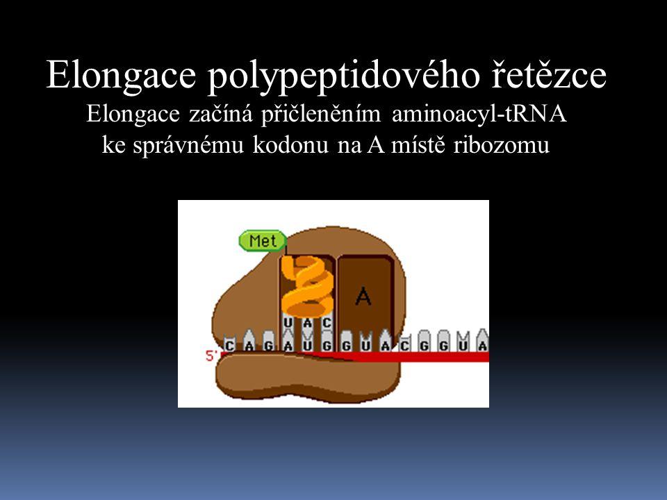 Elongace polypeptidového řetězce Elongace začíná přičleněním aminoacyl-tRNA ke správnému kodonu na A místě ribozomu