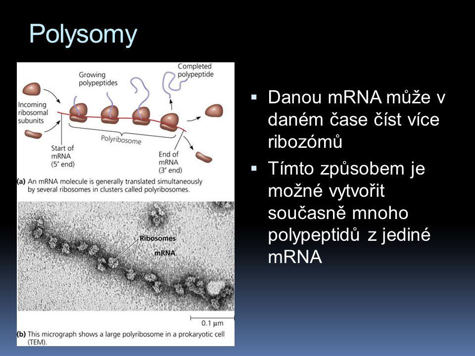 Polysomy  Danou mRNA může v daném čase číst více ribozómů  Tímto způsobem je možné vytvořit současně mnoho polypeptidů z jediné mRNA