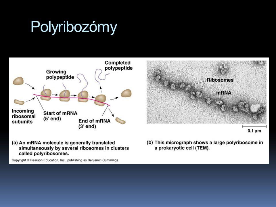 Polyribozómy