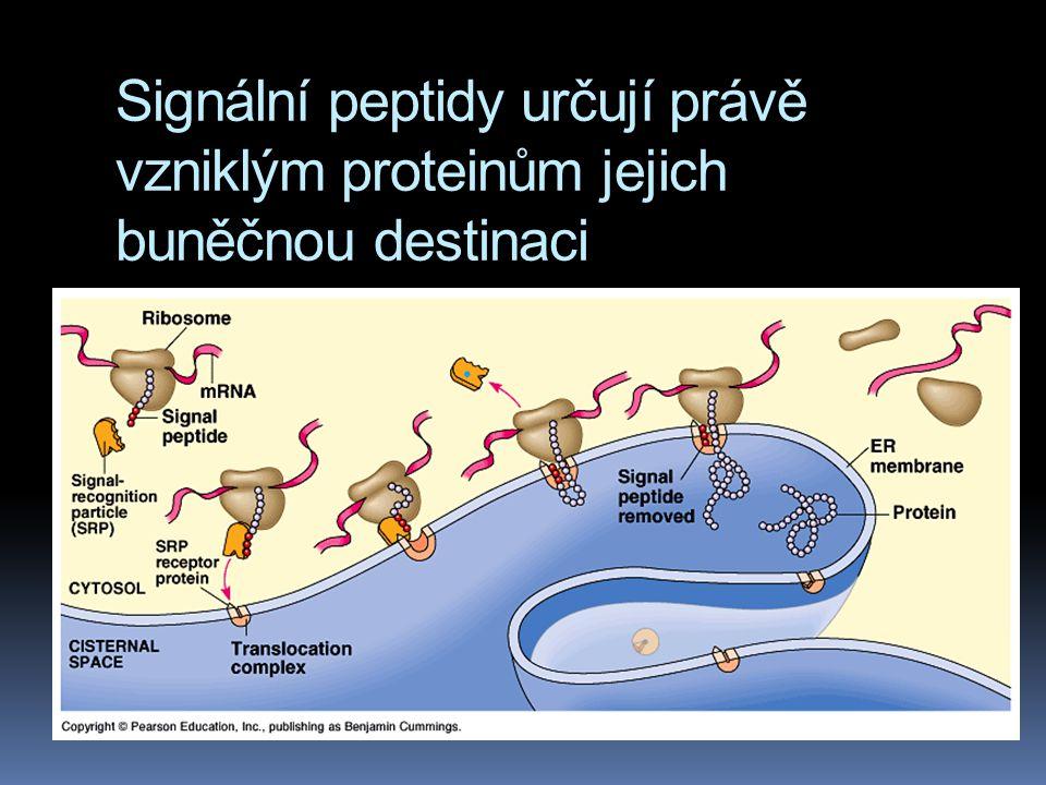 Signální peptidy určují právě vzniklým proteinům jejich buněčnou destinaci
