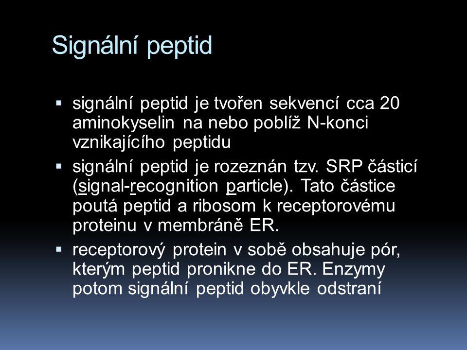 Signální peptid  signální peptid je tvořen sekvencí cca 20 aminokyselin na nebo poblíž N-konci vznikajícího peptidu  signální peptid je rozeznán tzv.