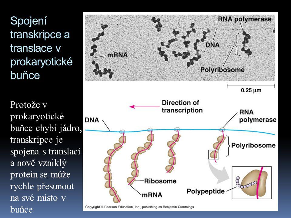 Spojení transkripce a translace v prokaryotické buňce Protože v prokaryotické buňce chybí jádro, transkripce je spojena s translací a nově vzniklý protein se může rychle přesunout na své místo v buňce