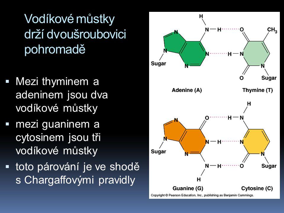 Vodíkové můstky drží dvoušroubovici pohromadě  Mezi thyminem a adeninem jsou dva vodíkové můstky  mezi guaninem a cytosinem jsou tři vodíkové můstky  toto párování je ve shodě s Chargaffovými pravidly