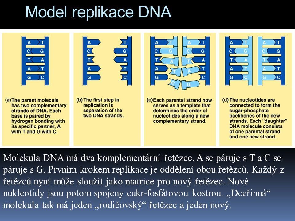 Model replikace DNA Molekula DNA má dva komplementární řetězce.