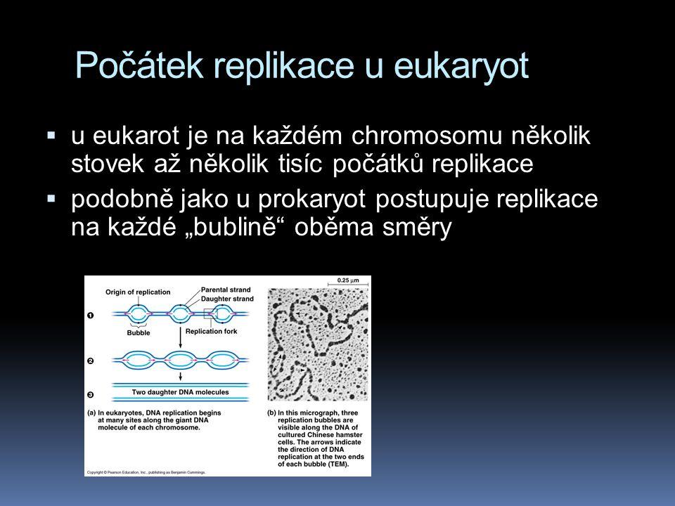 """Počátek replikace u eukaryot  u eukarot je na každém chromosomu několik stovek až několik tisíc počátků replikace  podobně jako u prokaryot postupuje replikace na každé """"bublině oběma směry"""