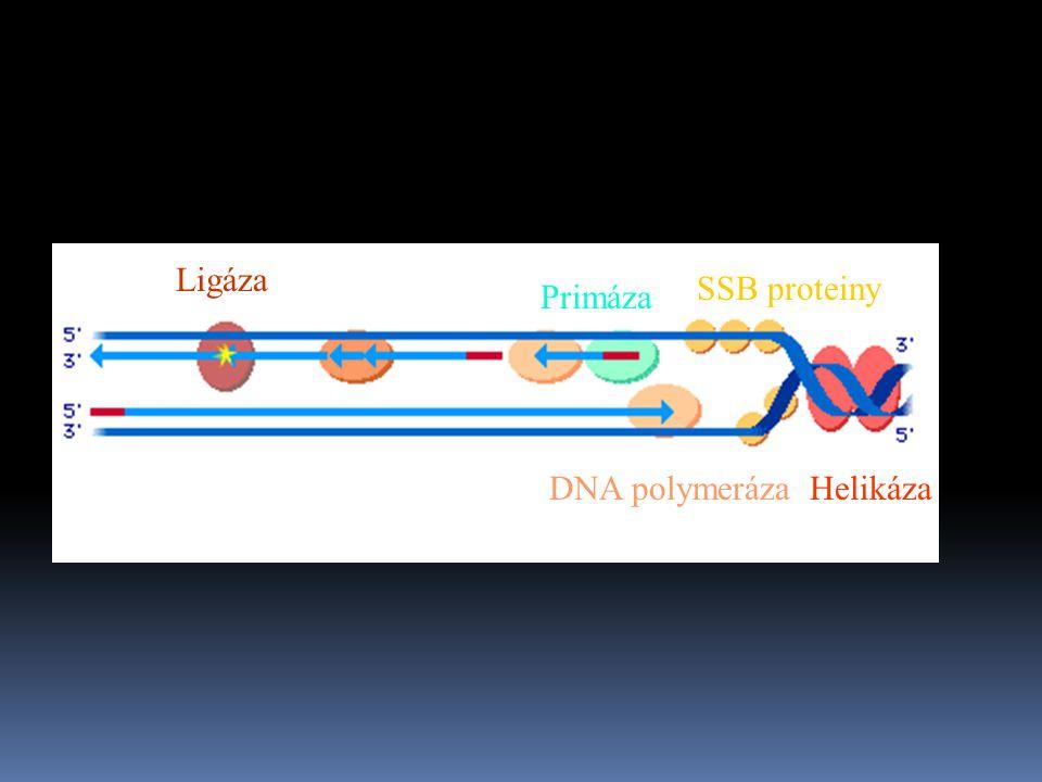 Helikáza SSB proteiny DNA polymeráza Ligáza Primáza