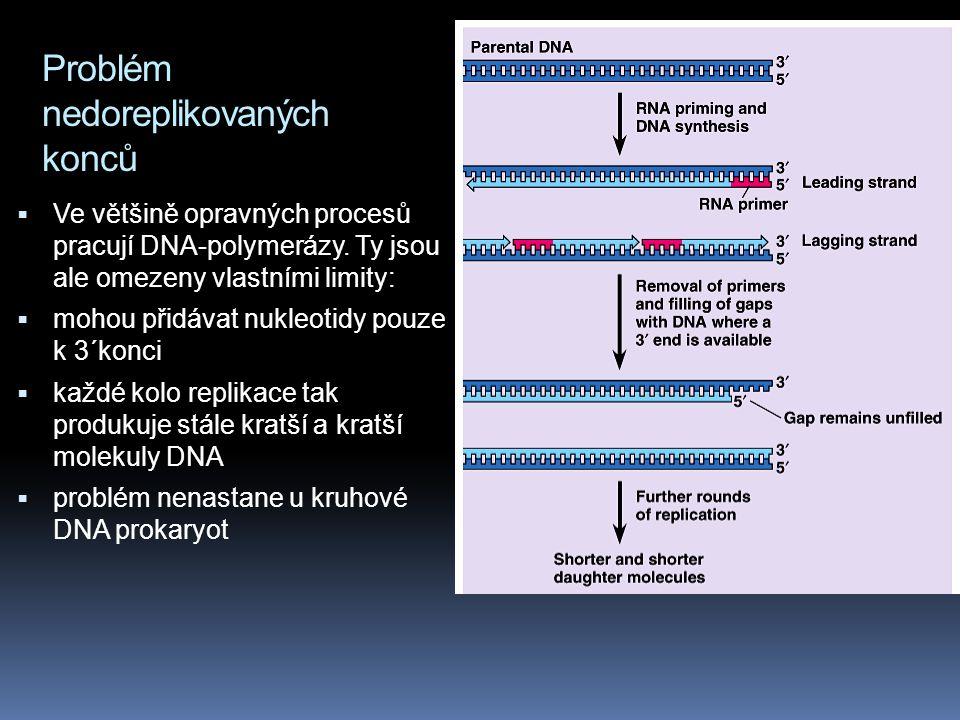 Problém nedoreplikovaných konců  Ve většině opravných procesů pracují DNA-polymerázy.