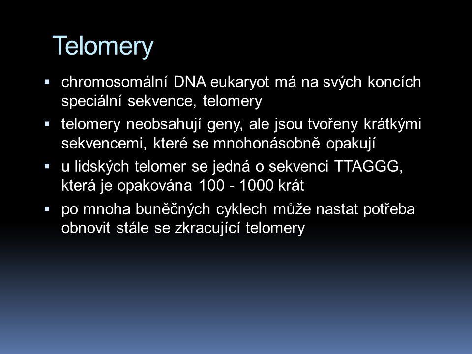 Telomery  chromosomální DNA eukaryot má na svých koncích speciální sekvence, telomery  telomery neobsahují geny, ale jsou tvořeny krátkými sekvencemi, které se mnohonásobně opakují  u lidských telomer se jedná o sekvenci TTAGGG, která je opakována 100 - 1000 krát  po mnoha buněčných cyklech může nastat potřeba obnovit stále se zkracující telomery