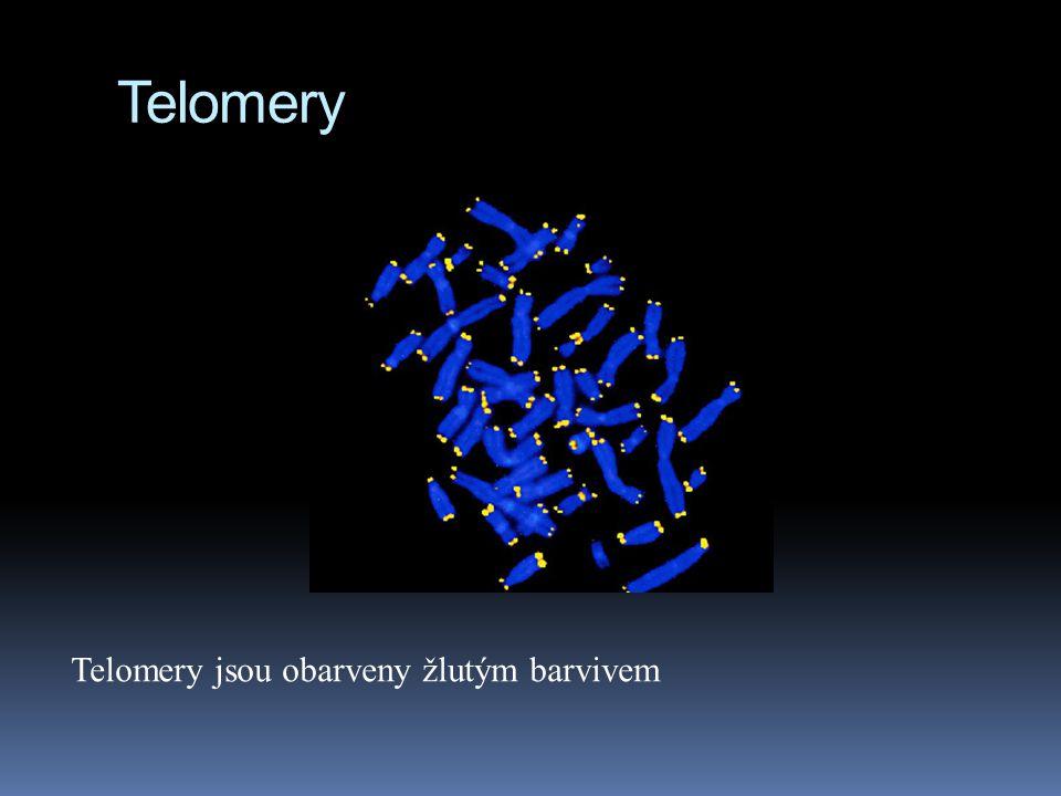 Telomery Telomery jsou obarveny žlutým barvivem