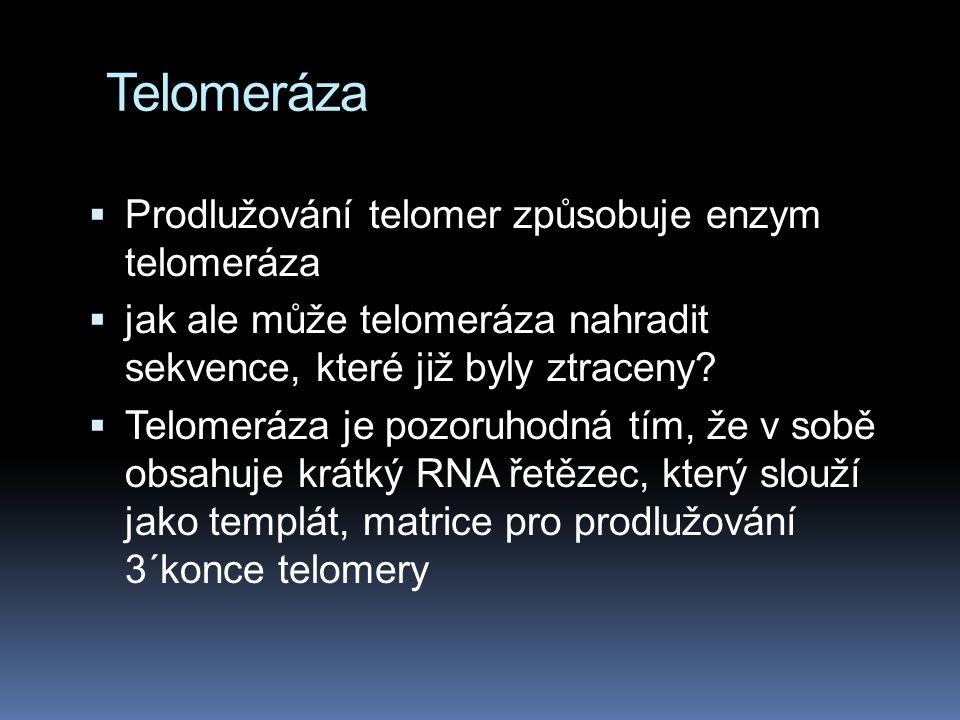Telomeráza  Prodlužování telomer způsobuje enzym telomeráza  jak ale může telomeráza nahradit sekvence, které již byly ztraceny.
