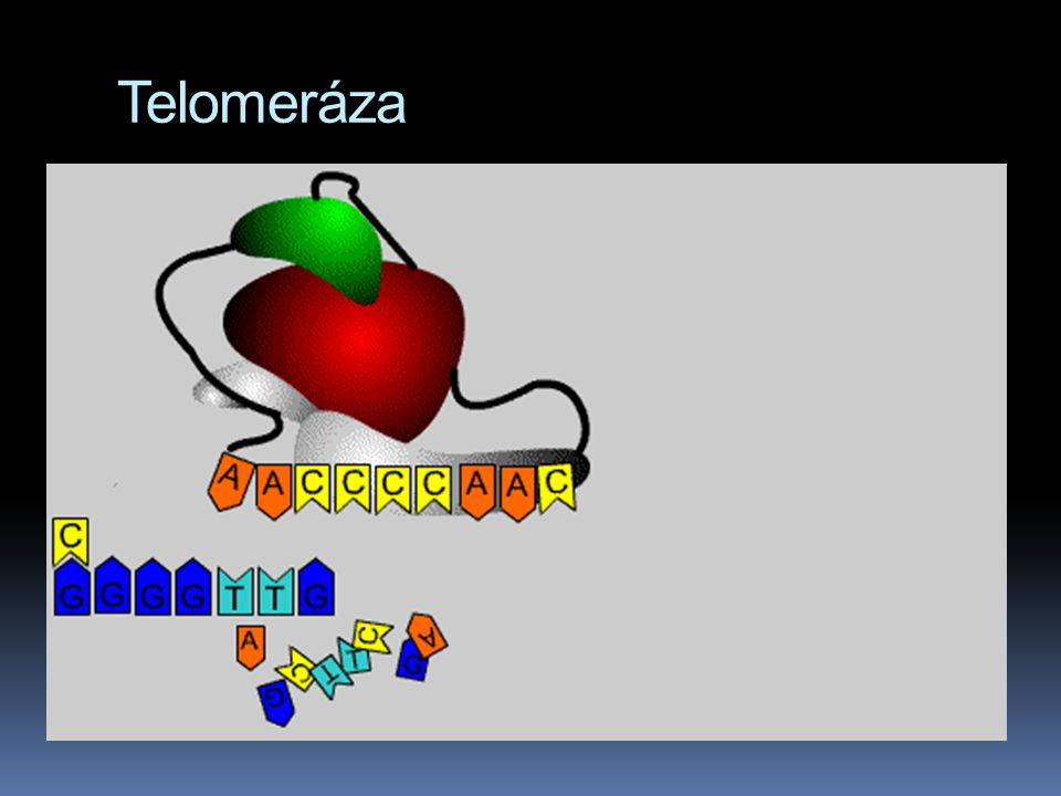 Telomeráza