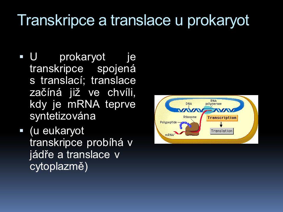 Transkripce a translace u prokaryot  U prokaryot je transkripce spojená s translací; translace začíná již ve chvíli, kdy je mRNA teprve syntetizována  (u eukaryot transkripce probíhá v jádře a translace v cytoplazmě)