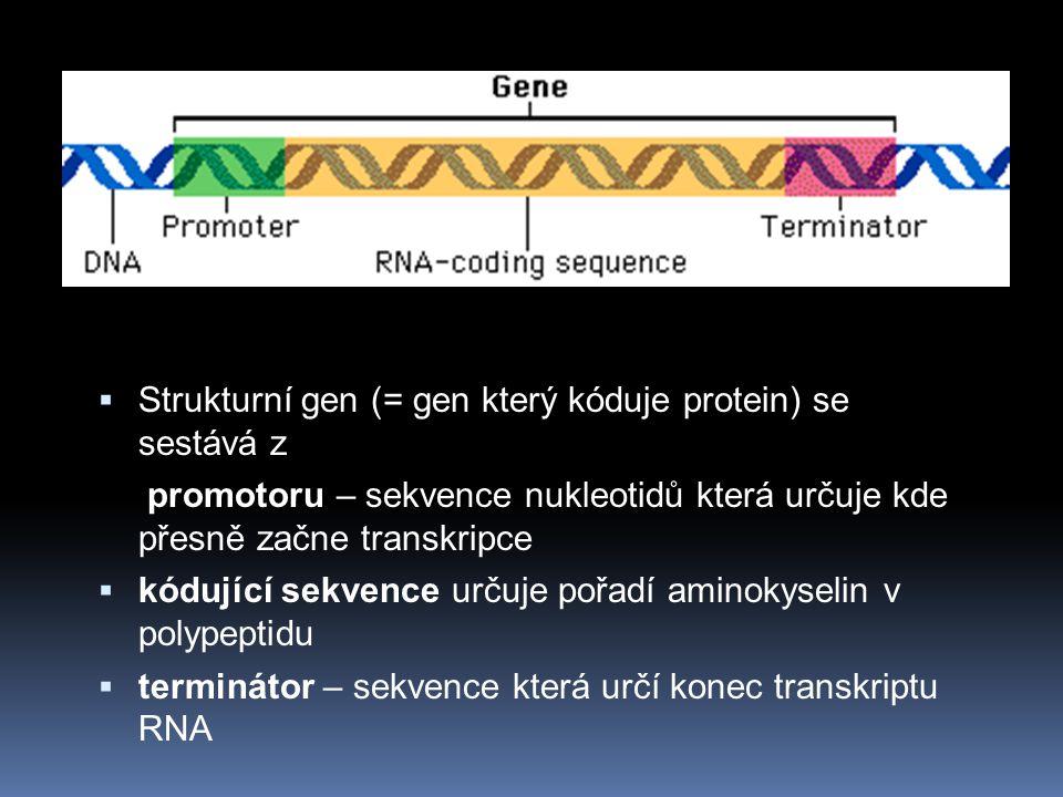  Strukturní gen (= gen který kóduje protein) se sestává z promotoru – sekvence nukleotidů která určuje kde přesně začne transkripce  kódující sekvence určuje pořadí aminokyselin v polypeptidu  terminátor – sekvence která určí konec transkriptu RNA