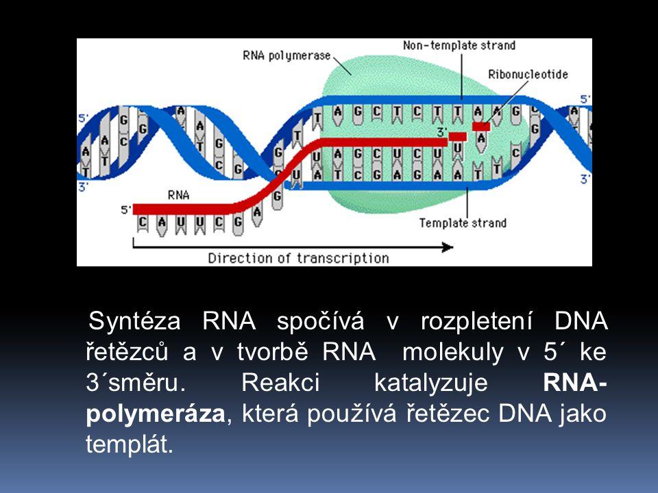 Syntéza RNA spočívá v rozpletení DNA řetězců a v tvorbě RNA molekuly v 5´ ke 3´směru.