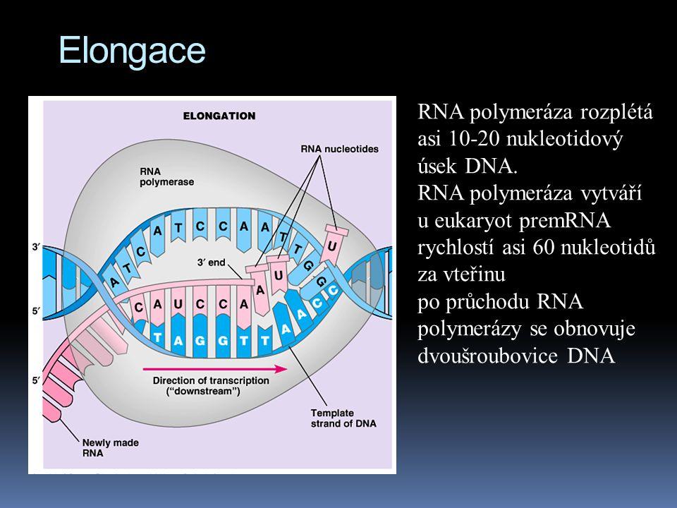 Elongace RNA polymeráza rozplétá asi 10-20 nukleotidový úsek DNA.