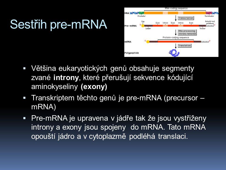 Sestřih pre-mRNA  Většina eukaryotických genů obsahuje segmenty zvané introny, které přerušují sekvence kódující aminokyseliny (exony)  Transkriptem těchto genů je pre-mRNA (precursor – mRNA)  Pre-mRNA je upravena v jádře tak že jsou vystřiženy introny a exony jsou spojeny do mRNA.
