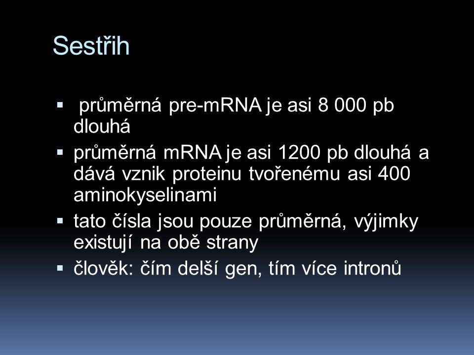 Sestřih  průměrná pre-mRNA je asi 8 000 pb dlouhá  průměrná mRNA je asi 1200 pb dlouhá a dává vznik proteinu tvořenému asi 400 aminokyselinami  tato čísla jsou pouze průměrná, výjimky existují na obě strany  člověk: čím delší gen, tím více intronů