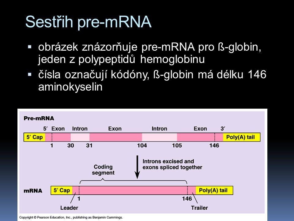 Sestřih pre-mRNA  obrázek znázorňuje pre-mRNA pro ß-globin, jeden z polypeptidů hemoglobinu  čísla označují kódóny, ß-globin má délku 146 aminokyselin