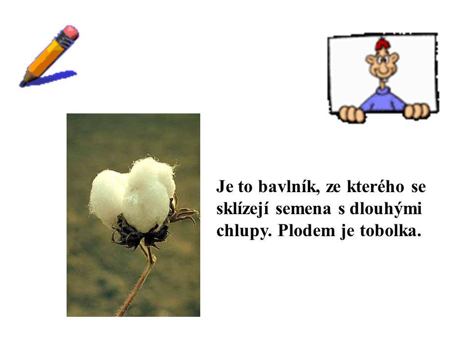 ŘEŠENÍ Je to bavlník, ze kterého se sklízejí semena s dlouhými chlupy. Plodem je tobolka.