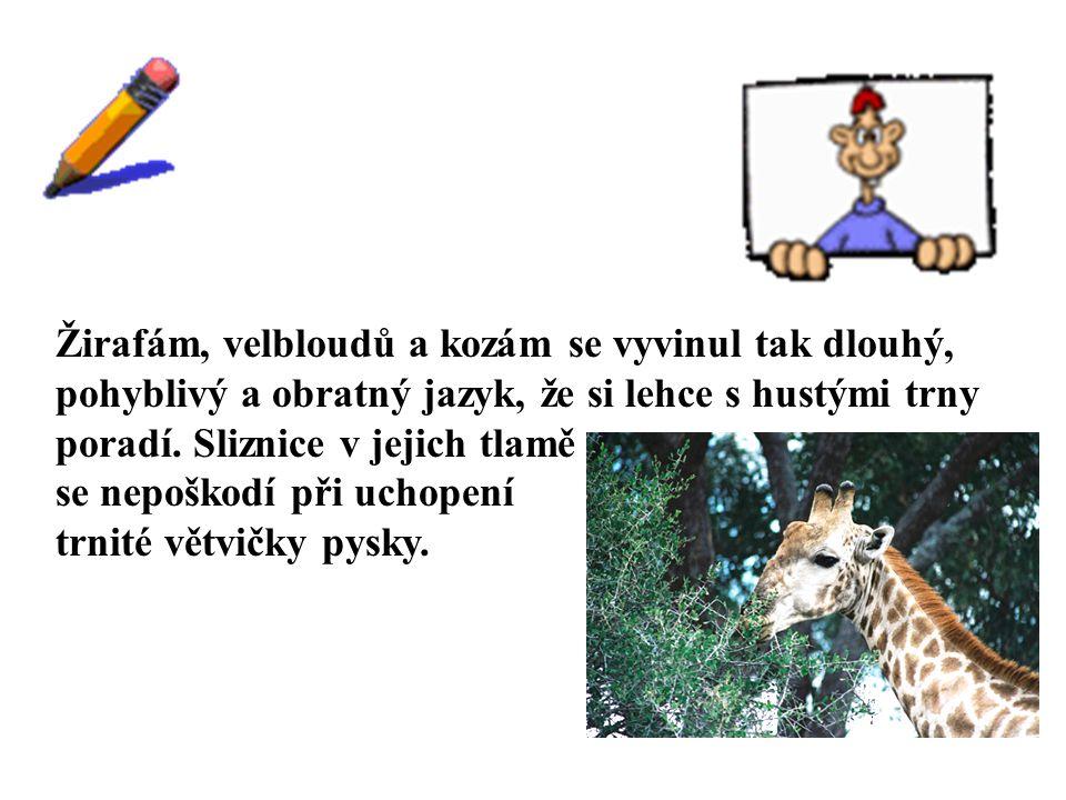 ŘEŠENÍ Žirafám, velbloudů a kozám se vyvinul tak dlouhý, pohyblivý a obratný jazyk, že si lehce s hustými trny poradí. Sliznice v jejich tlamě se nepo