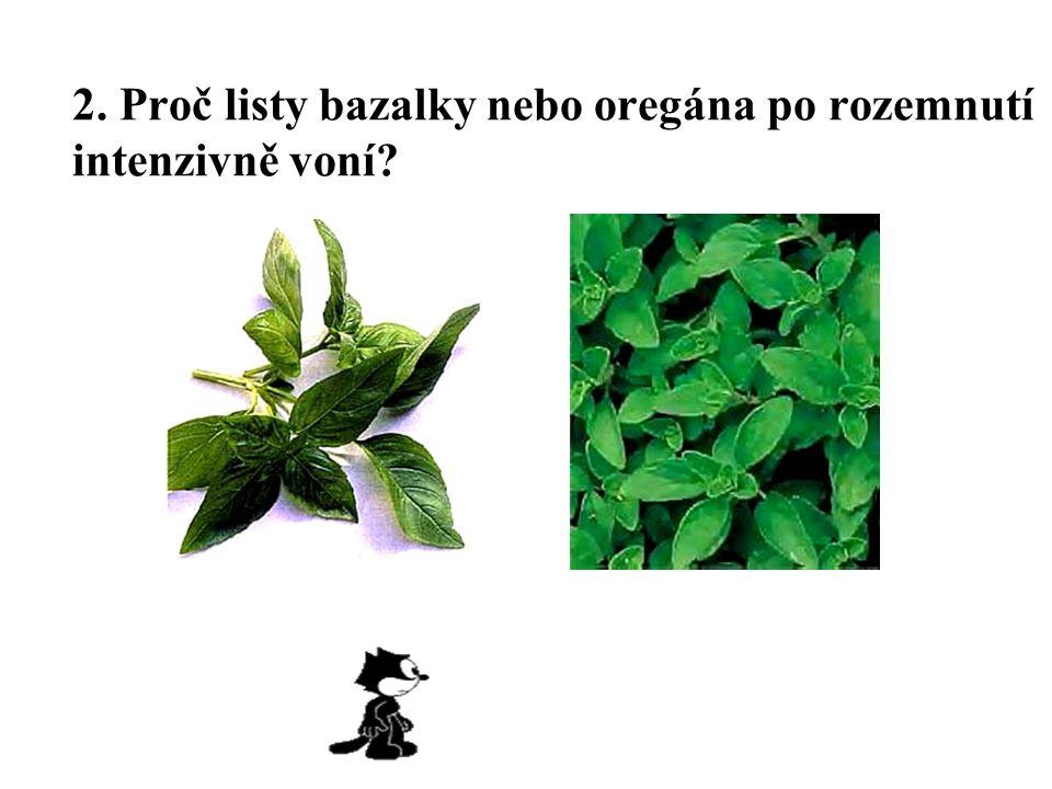 2. Proč listy bazalky nebo oregána po rozemnutí intenzivně voní?