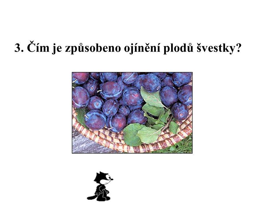 3. Čím je způsobeno ojínění plodů švestky?