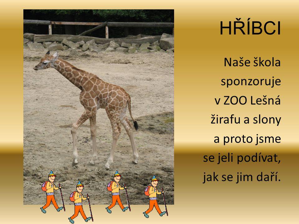 HŘÍBCI Naše škola sponzoruje v ZOO Lešná žirafu a slony a proto jsme se jeli podívat, jak se jim daří.