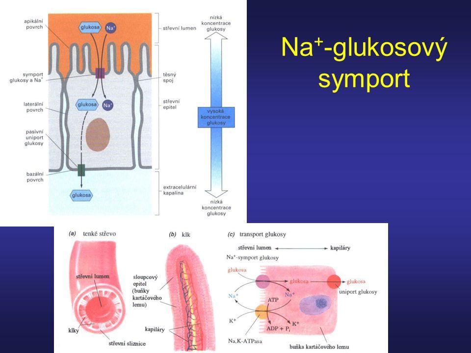 Na + -glukosový symport
