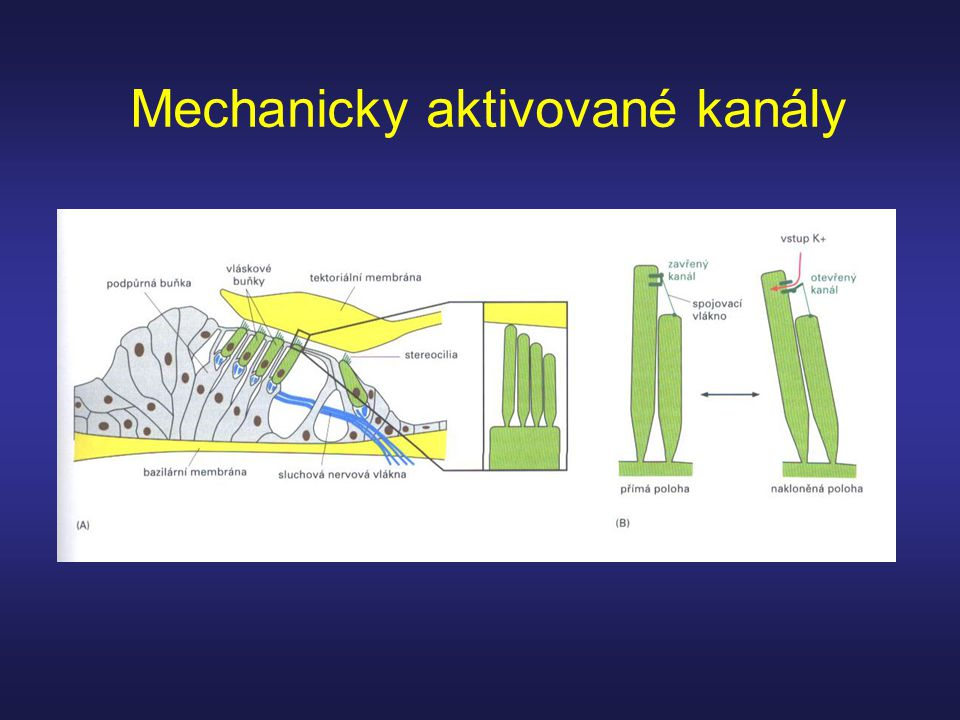 Mechanicky aktivované kanály