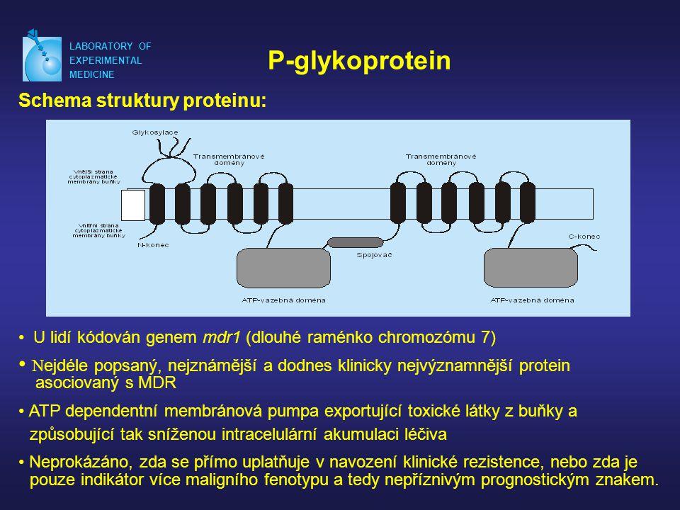LABORATORY OF EXPERIMENTAL MEDICINE P-glykoprotein Schema struktury proteinu: • U lidí kódován genem mdr1 (dlouhé raménko chromozómu 7) • N ejdéle pop