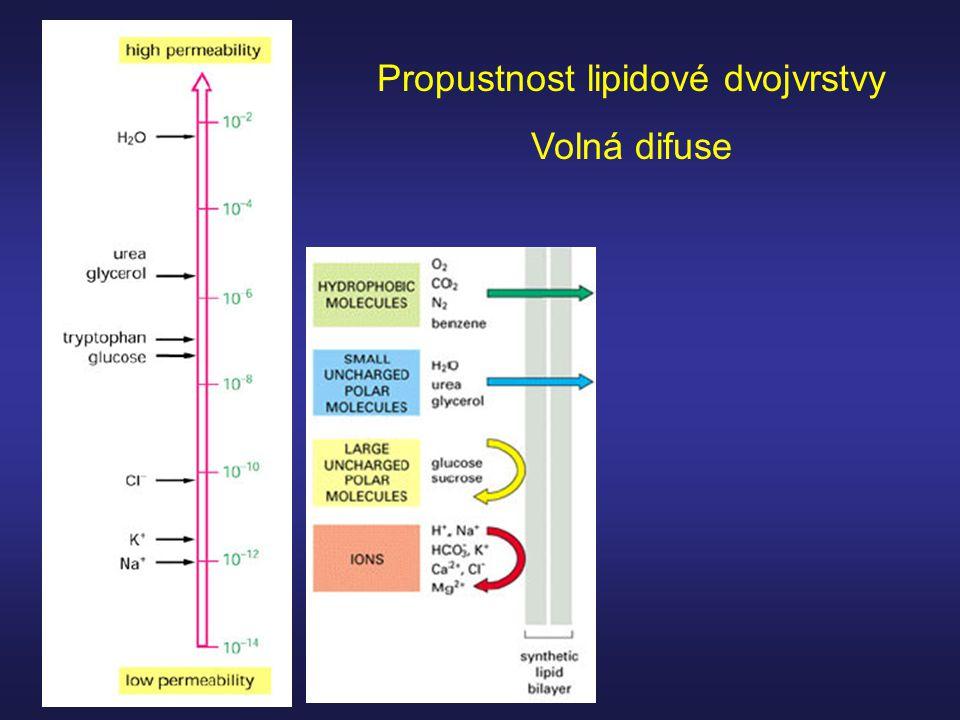 Propustnost lipidové dvojvrstvy Volná difuse