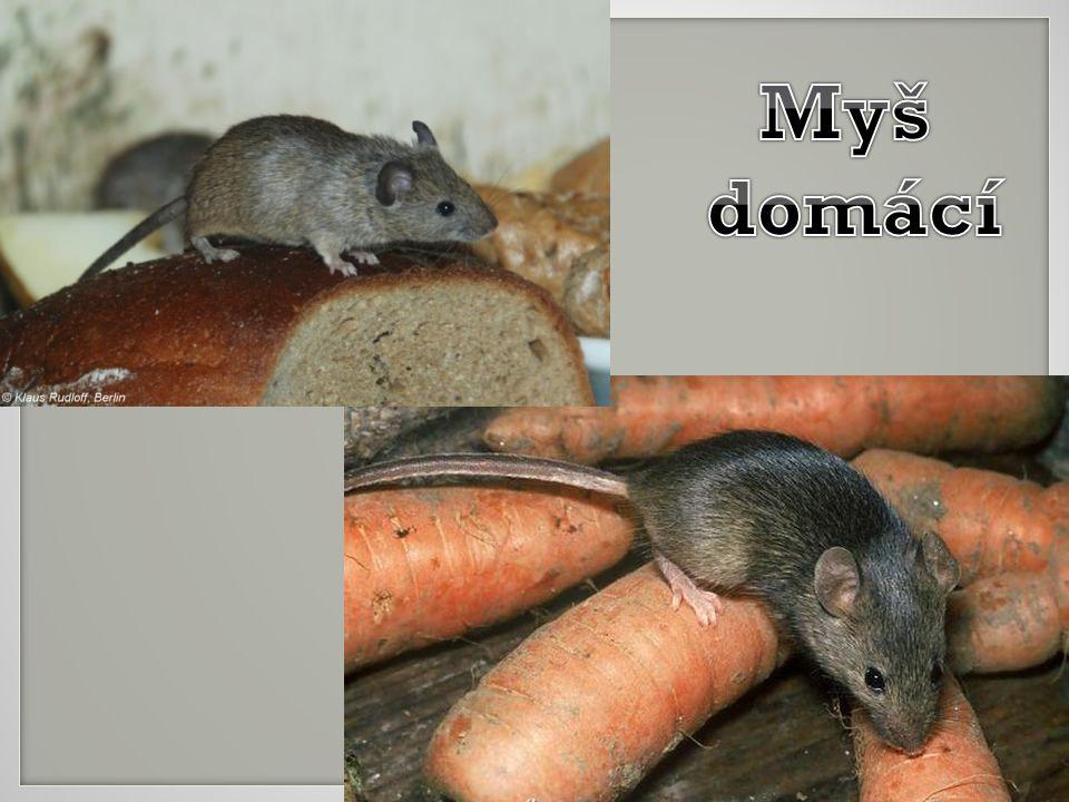 Všude, kde jsou lidé, žije myš domácí.Je pravděpodobně nejrozšířenějším ze všech hlodavců.