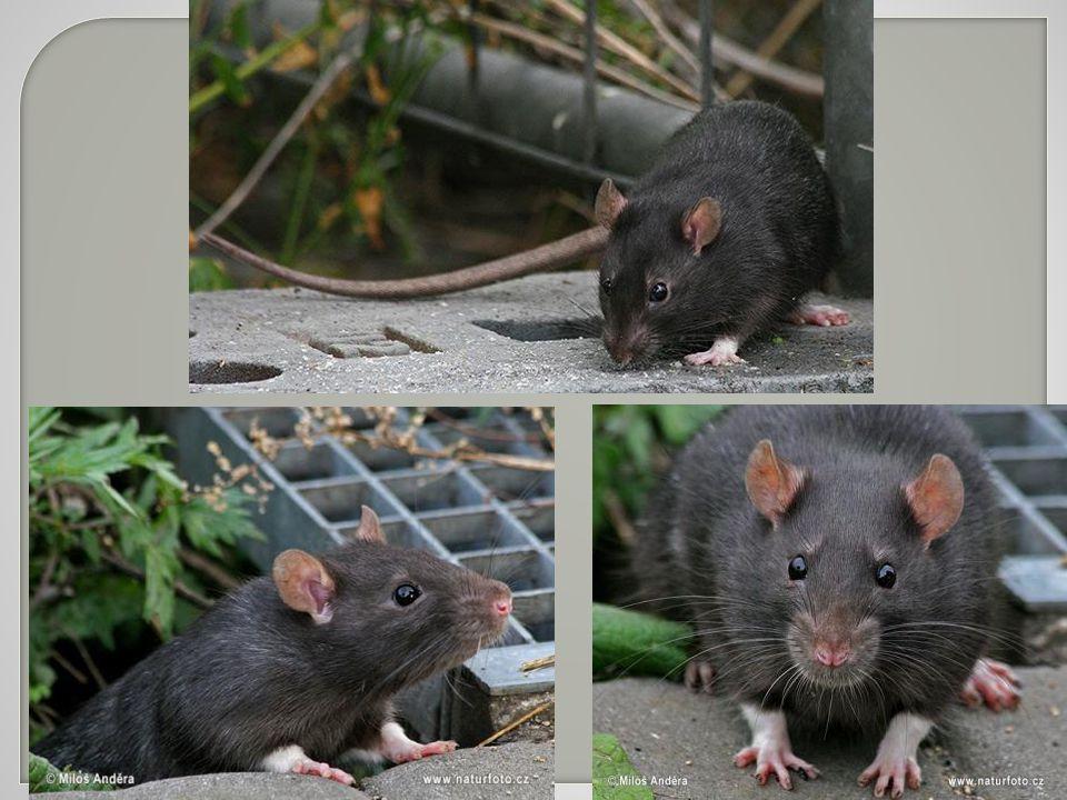 Krysu, která byla v Č echách d ř íve velmi hojná, ji ž dnes u nás skoro nenajdeme.