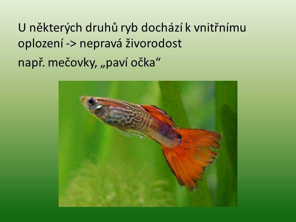 """U některých druhů ryb dochází k vnitřnímu oplození -> nepravá živorodost např. mečovky, """"paví očka"""""""