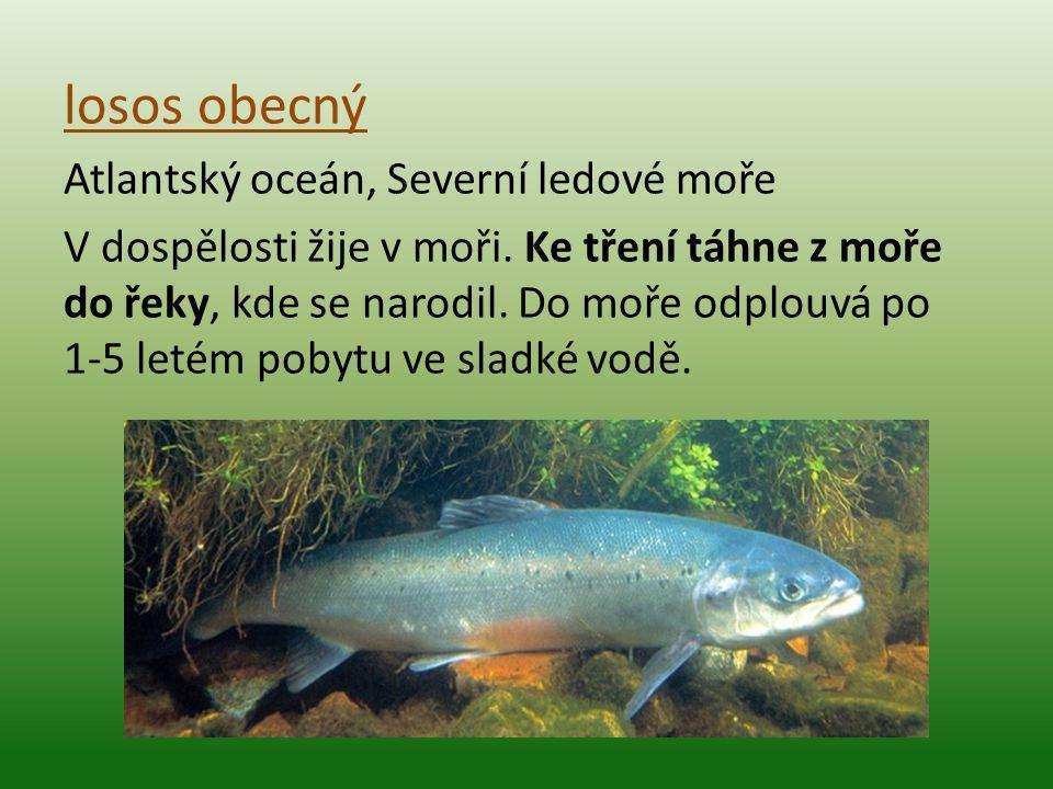 losos obecný Atlantský oceán, Severní ledové moře V dospělosti žije v moři. Ke tření táhne z moře do řeky, kde se narodil. Do moře odplouvá po 1-5 let