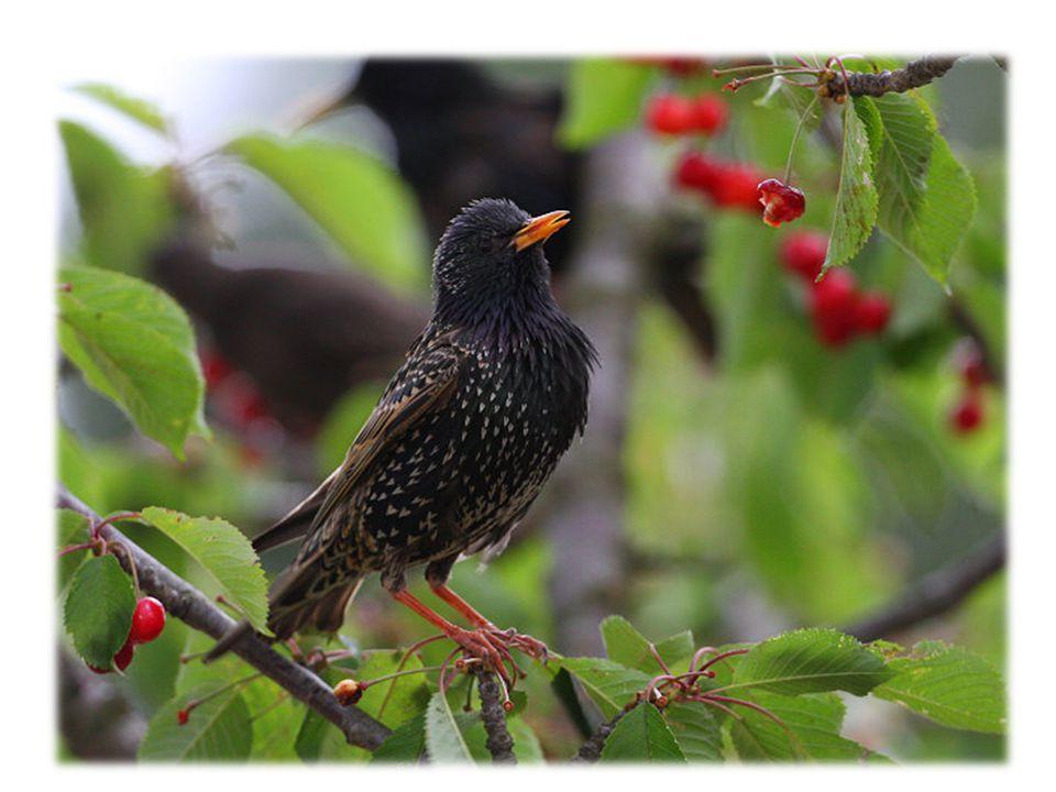 """Který pták přilétá na jaře? žížaly """"kuku, kuku"""" Kde má špaček budku? ředkvičky špaček Co tahá špaček z hlíny. kos """"špačíček pán"""" Jak se špaček ozývá?"""