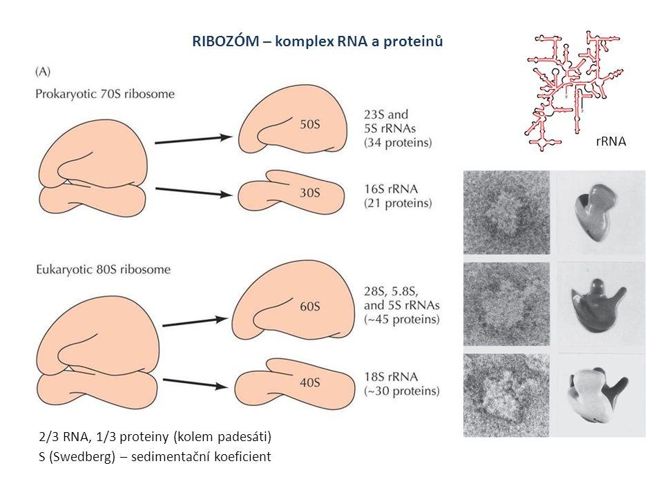 RIBOZÓM – komplex RNA a proteinů S (Swedberg) – sedimentační koeficient 2/3 RNA, 1/3 proteiny (kolem padesáti) rRNA