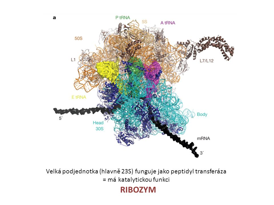 Velká podjednotka (hlavně 23S) funguje jako peptidyl transferáza = má katalytickou funkci RIBOZYM