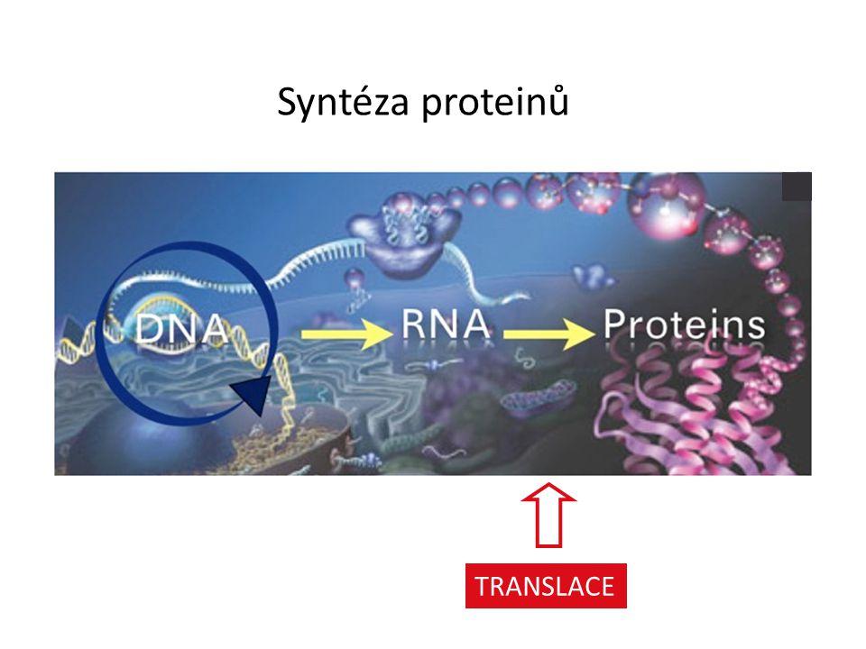 Syntéza proteinů TRANSLACE