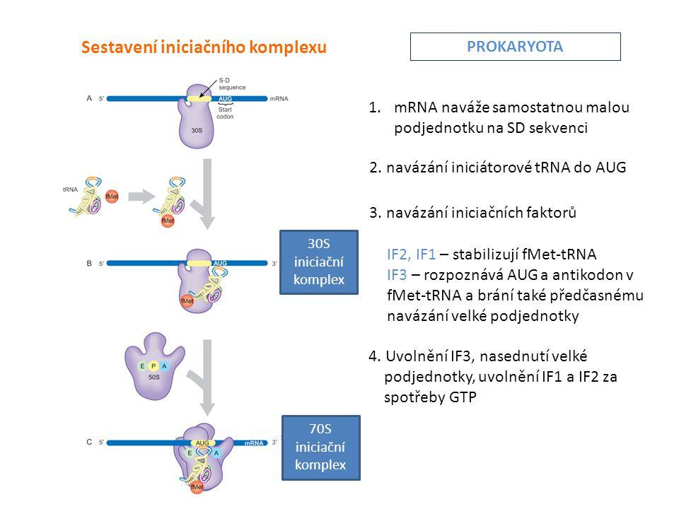 Sestavení iniciačního komplexu 1.mRNA naváže samostatnou malou podjednotku na SD sekvenci 2.