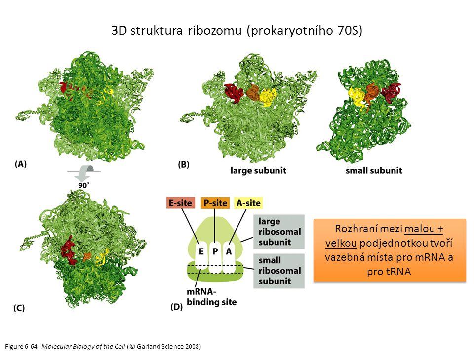 Figure 6-64 Molecular Biology of the Cell (© Garland Science 2008) 3D struktura ribozomu (prokaryotního 70S) Rozhraní mezi malou + velkou podjednotkou tvoří vazebná místa pro mRNA a pro tRNA